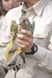 gemensam falcotornfalktinnunculus royaltyfri bild