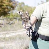 gemensam falcotornfalktinnunculus arkivfoton