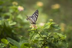 Gemensam farsfjäril - Papilio clytia arkivbilder