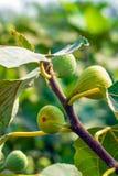 gemensam fig arkivbild