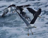 Gemensam fiskmås, LarusCanus flyg över ett hav royaltyfri fotografi
