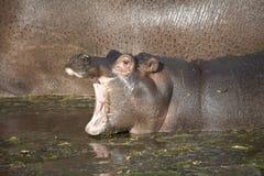 Gemensam flodhästkalv Royaltyfri Bild