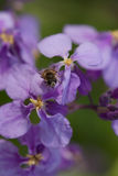 Gemensam fruktfluga Royaltyfria Foton