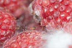 Gemensam fruktfluga på ett ruttet bär royaltyfri bild