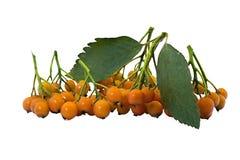 gemensam fruktwhitebeam Royaltyfri Fotografi