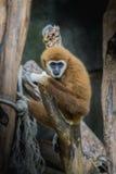 Gemensam gibbon som Vit-räckas gibbon royaltyfri foto