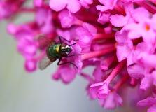 Gemensam grön flaskfluga eller Luciliasericata arkivfoton