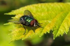 Gemensam grön flaskfluga på ett blad Royaltyfria Bilder