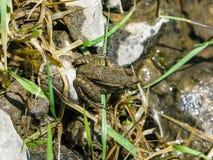 Gemensam groda på stenar och gräs av den sjöSkadar nationalparken arkivfoto