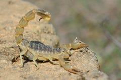 Gemensam gul skorpion (den Buthus occitanusen) i defensiv ställing i Azerbajdzjan royaltyfria foton