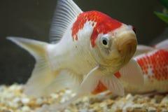Gemensam guldfisk Royaltyfria Bilder