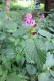 Gemensam Hampa-nässla (Galeopsistetrahit) Royaltyfria Bilder