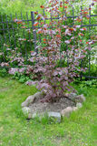 Gemensam hasselträ, purpurfärgad Corylusavellana L för form H Karst f Purpurea en buske i en trädgård royaltyfri bild