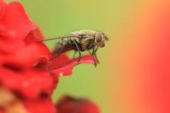 gemensam housefly Arkivbild