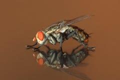 gemensam housefly royaltyfri bild