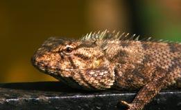 gemensam indisk kameleont Skjuten makro royaltyfri foto
