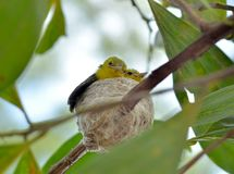 Gemensam Iora Aegithina tiphia som matar dess lilla fåglar i natur Royaltyfria Foton