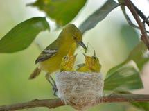 Gemensam Iora Aegithina tiphia som matar dess lilla fåglar i natur Royaltyfri Fotografi