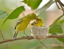 Gemensam Iora Aegithina tiphia som matar dess lilla fåglar i natur Arkivfoto