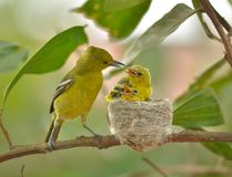 Gemensam Iora Aegithina tiphia som matar dess lilla fåglar i natur Royaltyfria Bilder
