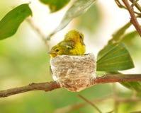 Gemensam Iora Aegithina tiphia som matar dess lilla fåglar i natur Royaltyfri Bild