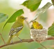 Gemensam Iora Aegithina tiphia som matar dess lilla fåglar i natur Fotografering för Bildbyråer