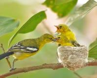 Gemensam Iora Aegithina tiphia som matar dess lilla fåglar i natur Royaltyfri Foto