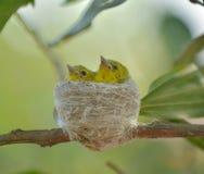 Gemensam Iora Aegithina tiphia som matar dess lilla fåglar i natur Arkivbild