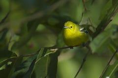 Gemensam iorafågel i Nepal Royaltyfri Foto