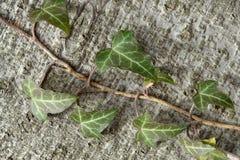 Gemensam Ivy Hedera spiral Royaltyfri Fotografi