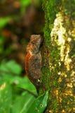 Gemensam kameleont på träd Royaltyfri Foto