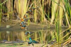gemensam kingfisher Fotografering för Bildbyråer