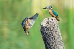 gemensam kingfisher Royaltyfri Foto