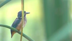 gemensam kingfisher stock video