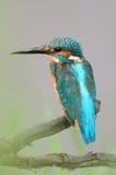 gemensam kingfisher Royaltyfri Fotografi