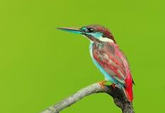 gemensam kingfisher Arkivbilder