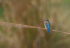 gemensam kingfisher Arkivfoto