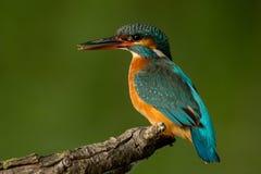 gemensam kingfisher Royaltyfria Foton