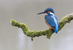 gemensam kingfisher Arkivbild