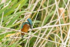 gemensam kingfisher Arkivfoton
