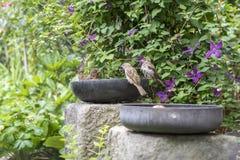 Gemensam koltrast som tar ett bad i den gamla teflonpannan på trädgården, två gråsparvar som väntar på det fria badrummet royaltyfria bilder