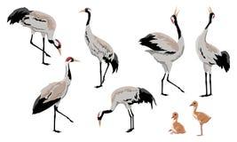 Gemensam kran eller Grusgrus eller Eurasian kran En samling av gråa kranar i olikt poserar Fåglar söker efter mat, anseende, D stock illustrationer