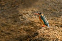 Gemensam kungsfiskare, Alcedoatthis från Sri Lanka Arkivbilder