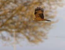 Gemensam kvinnlig tornfalkfalk, falcotinnunculus som flyger arkivbilder