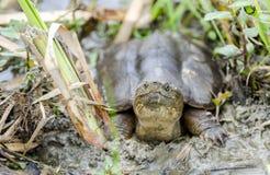 Gemensam låsande fast sköldpadda, Georgia USA royaltyfri fotografi