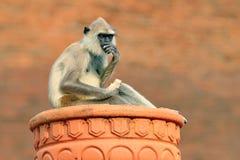 Gemensam Langur, Semnopithecus entellus, apa på den orange tegelstenbyggnaden, naturlivsmiljö, Sri Lanka stads- djurliv Apa med Royaltyfria Bilder