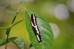 Gemensam larv för farsPapilio clytia royaltyfri fotografi