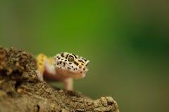 Gemensam leopardgecko med grön bakgrund Royaltyfri Foto