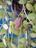 Gemensam leucomystax för Polypedates för trädgroda på de inlagda växterna Royaltyfri Bild