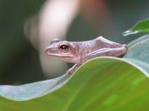 Gemensam leucomystax för polypedatesen för trädgrodan sitter på bladet Royaltyfria Bilder